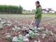 Người trồng rau ở miền núi gặp khó