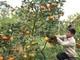 Nông dân 9X làm giàu từ mô hình trồng cam đường canh bán Tết