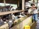 8X thu lãi 500 triệu đồng mỗi năm từ nuôi bò sữa