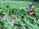 Nghệ An: Hàng chục nghìn ha lúa và hoa màu thiệt hại nặng nề