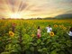 Đồng hoa hướng dương ở Nghệ An chuẩn bị khoe sắc