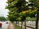 Đẹp ngất ngây mùa hoa giáng hương đầu tiên của thành phố Vinh