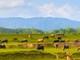 Xao xuyến bức tranh ruộng đồng trên đất Nghệ An