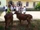 Trao bò giống cho hộ nghèo tại Nghĩa Đàn