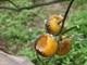 Người trồng cam Xã Đoài mất tiền triệu mỗi đêm vì...chuột
