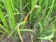 500 ha lúa ở Nghĩa Đàn bị nhiễm bệnh đốm sọc vi khuẩn
