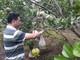Hiệu quả mô hình trồng bưởi hồng Quang Tiến theo quy trình VietGAP