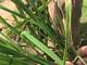 950 ha lúa ở Nghĩa Đàn bị nhiễm bệnh khô vằn