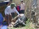 Nghệ An: Hàng chục con trâu bị chết sau lũ lụt