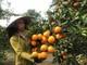 Cam Tết rớt giá, nông dân vùng cam trọng điểm Nghệ An buồn rầu