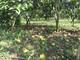 Nông dân Nghệ An đứng ngồi không yên vì quýt chín rụng đầy vườn