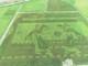 Cánh đồng lúa thảo dược công nghệ cao tạo hình độc đáo tại Con Cuông