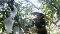 Nông dân Nghệ An lồng 'áo giáp' chống nắng cho bưởi