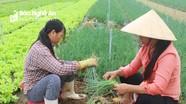 Nghệ An: Hành hoa, cà chua đầu vụ giá tăng gấp 3 lần