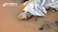 Lợn nổi lềnh bềnh trong hố tiêu hủy tại vùng dịch huyện Nam Đàn