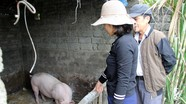 Nghệ An: Giám sát chặt chẽ các địa phương có lợn ốm chết không do dịch tả châu Phi
