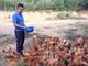 Tốt nghiệp loại giỏi, cử nhân sư phạm về xứ núi trồng rừng, phát triển chăn nuôi