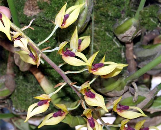 14 loài hoa lan rừng hiếm có tên trong sách đỏ Việt Nam - ảnh 2