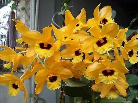 14 loài hoa lan rừng hiếm có tên trong sách đỏ Việt Nam - ảnh 6