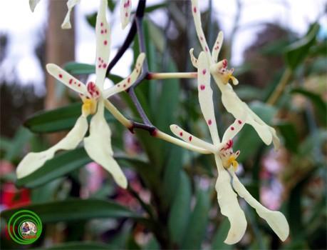 14 loài hoa lan rừng hiếm có tên trong sách đỏ Việt Nam - ảnh 9