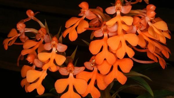 14 loài hoa lan rừng hiếm có tên trong sách đỏ Việt Nam - ảnh 10