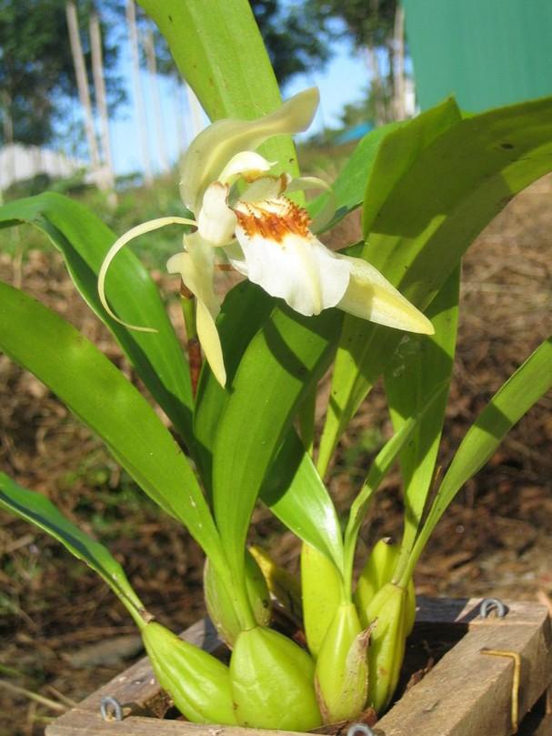 14 loài hoa lan rừng hiếm có tên trong sách đỏ Việt Nam - ảnh 13
